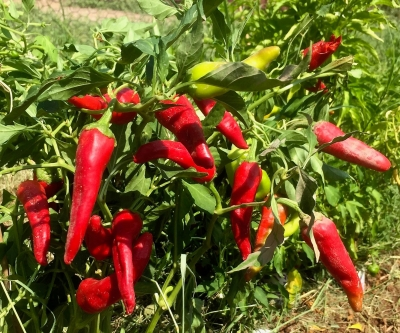 Chiles growing in weeds